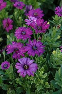Asti Purple African Daisy  Osteospermum  U0026 39 Asti Purple U0026 39   In