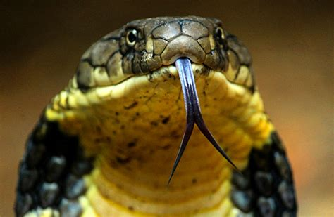 King Cobra Images Wallpapers Photos & Hd Download Pictures