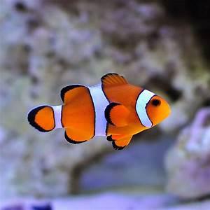 T R Ocellaris Clownfish Amphiprion ocellaris PetSolutions