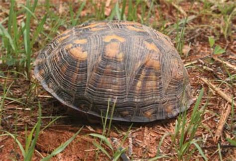 Eastern Box Turtle (from NC WINS)   NCpedia