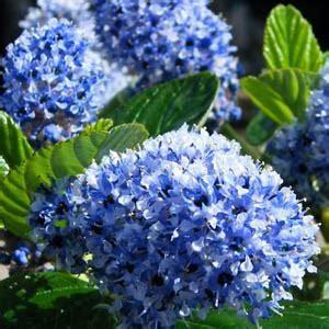 Cheap Ceanothus Trewithan Blue Blue Flowering Shrubs