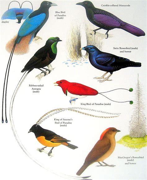 birds blue bird of paradise satin bowerbird ribbon tailed