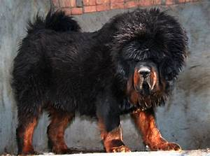 Pin Tibetan-mastiff-lion-price on Pinterest