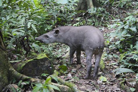 tapir notesfromcamelidcountry
