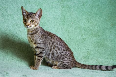 savannah cats expensive why cat pets4homes