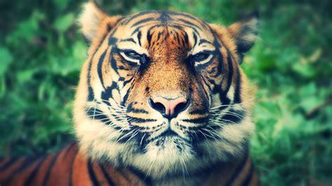 hd hintergrundbilder tiger schnauze schnurrhaare nase