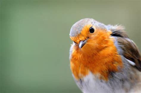 peak district birds robin