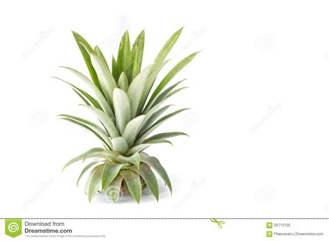 Close Up Green Leaf Of Pineapple Isolated On White Stock