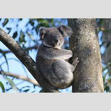 Can You Teach A Koala New Tricks?  Griffith News