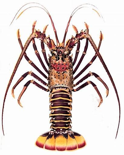 Lobster Spiny Clipart Lobsters Caribbean Hawaiian Cost