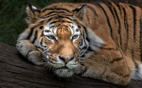 wallpaper siberian tiger amur tiger hd animals