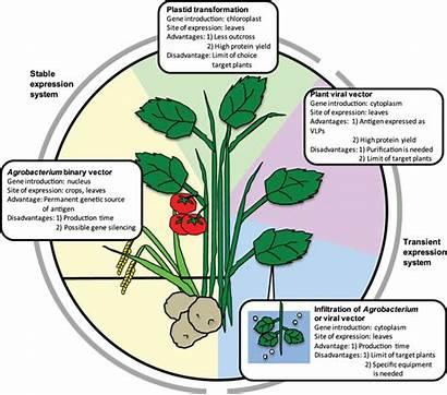 Transgenic Plant Advantages Disadvantages Virus Technologies Vlp