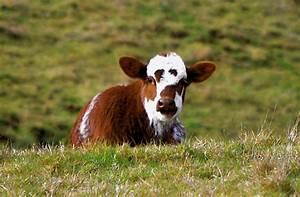 Luann Kessi  Cows  U0026 Calves