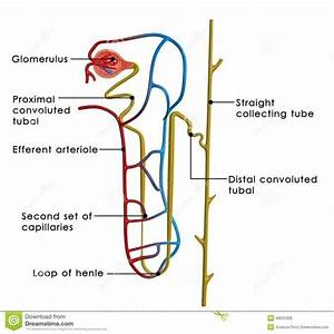 Excretory System Diagram Labeled