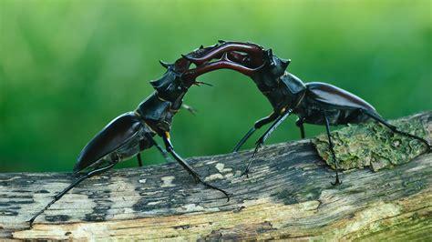 Stag Beetle (Lucanus cervus) - British Beetles - Woodland ...
