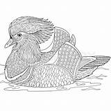 Duck Mandarin Coloring Stylized Zentangle Cartoon 800px Vector Adult Designlooter Isolated Hand Background 8kb sketch template