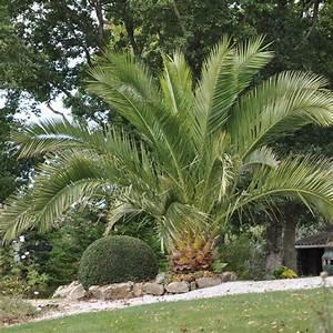 Palmier De Jardin : palmier exterieur ~ Nature-et-papiers.com Idées de Décoration