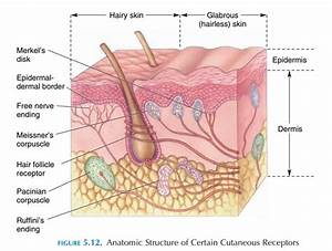 Cutaneous Receptors