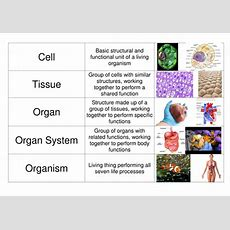Cells, Organs, Tissues Card Sort By Mabowman  Teaching Resources Tes
