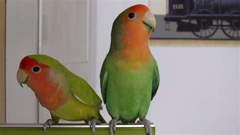 differentiate male  female lovebirds youtube
