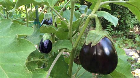 Eggplant Black Beauty, Japanese & White