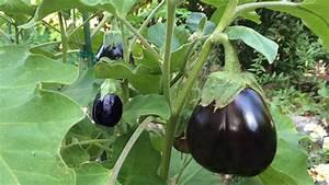 Eggplant Black Beauty, Japanese & White - Growing Guide ...