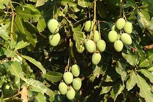 Mango english