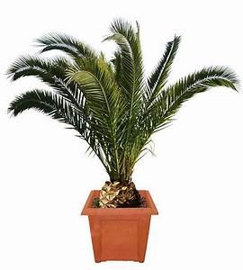 Phoenix Canariensis Pflege : 25 semillas de palmera phoenix canariensis en ~ Lizthompson.info Haus und Dekorationen