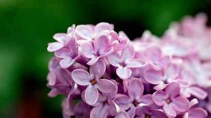 Purple Flowers Flower Wallpapers Definition Desktop Widescreen