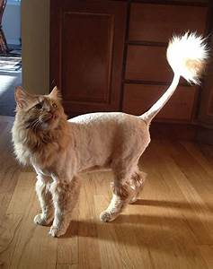11 Cats With Lion Cuts Kittens Pinterest Lions Cat