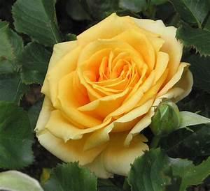 Rosen Winterfest Machen : rosen haltbar machen rosen kandieren und haltbar machen frag mutti rosen haltbar machen so ~ Orissabook.com Haus und Dekorationen