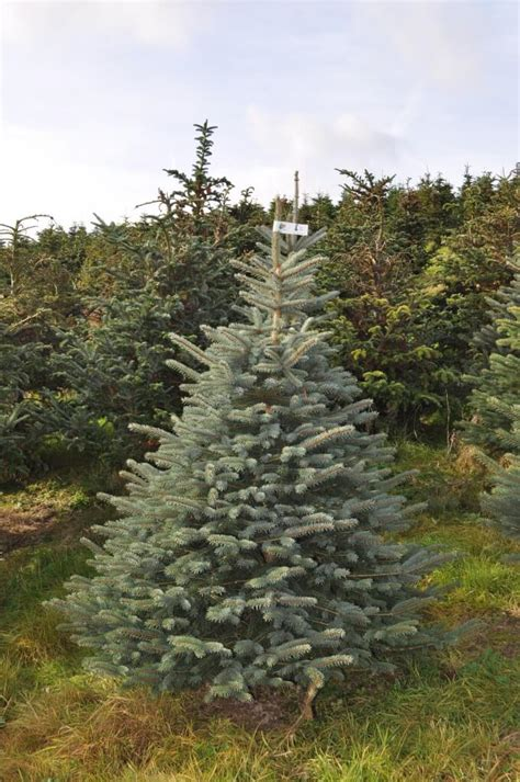 christmas trees for sale near me freshly cut blue spruce buy free delivery send me a tree