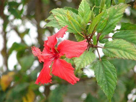 hibiscus entretien entretien hibiscus conseils et astuces pour des plantes