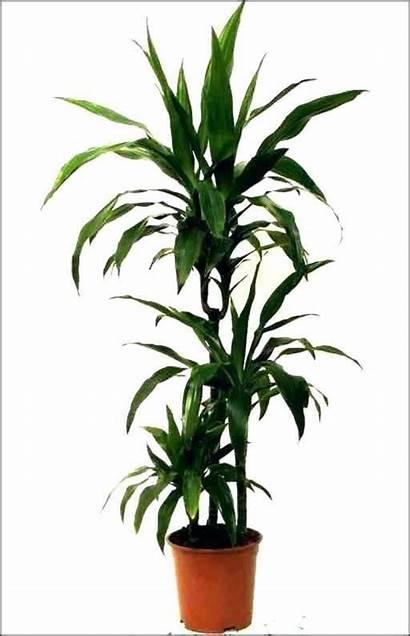 Plants Indoor Dracaena Safe Cats Office Plant
