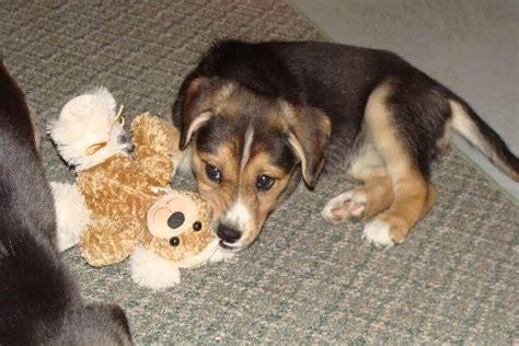 beagle lab mix beagador characteristics appearance