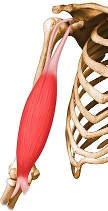 biceps brachii uw radiology