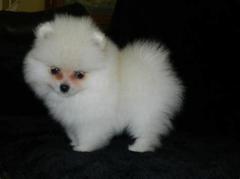 Pomeranian Puppies For Sale Pomeranians Puppies For Sale In Texas White Pomeranian Puppies For