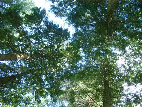 stock photo  tall trees photoeverywhere