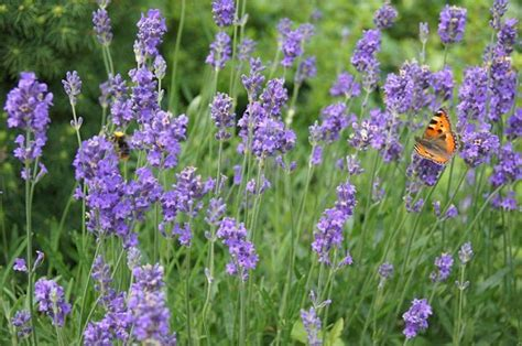 growing lavender how to grow lavender plants