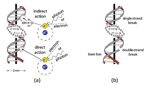 (a) Direct And Indirect Radiation Damage To The Dna