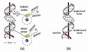 5    A  Direct And Indirect Radiation Damage To The Dna