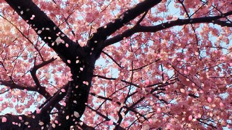 cherry tree blossoms uploaded by user