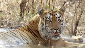 Tiger drags woman into forest in Sunderbans, India