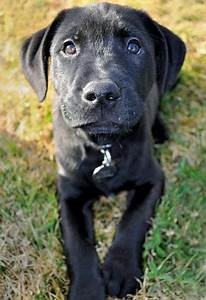 Black Lab Mixed With Pitbull Puppies | DOG BREEDS ...