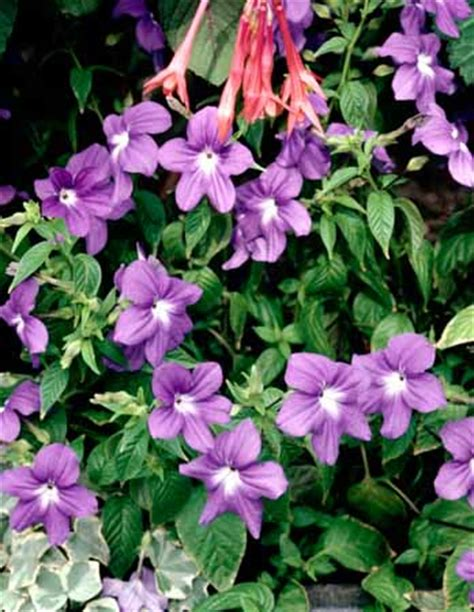 cural impatance of rosy periwinkle vinca madagascar periwinkle a profile of an annual flower howstuffworks