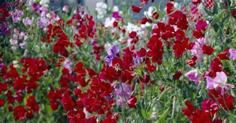 Winterharte Kletterpflanzen Für Kübel by Kletterpflanzen F 252 R Den Balkon Mein Sch 246 Ner Garten