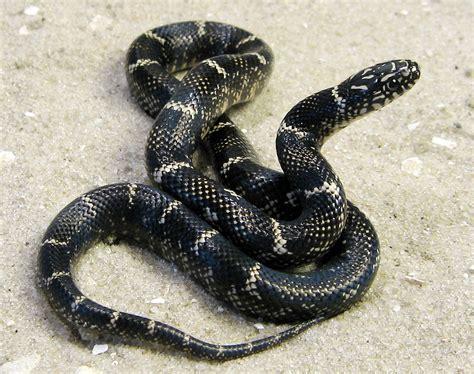 Outer Banks Kingsnake(hatchling) - Serpentine Specialties