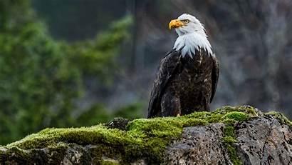 Eagle Wildlife Nature Bald Animals Birds Wallpapers