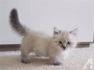 munchkin cat price 25 best ideas about munchkin kittens for on