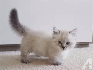 munchkin cats for best 25 munchkin kitten ideas on munchkin cat